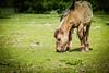 Konik horse (inekehuizing) Tags: horses nature landscape spring natuur lelystad landschap paarden voorjaar koniks oostvaarderplassen inekehuizingfotografie