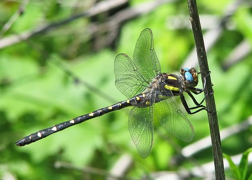 Twin-spotted spiketail (Cordulegaster maculata) - NEW
