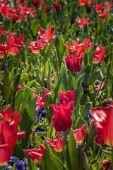 Luzerner Garten (dieeule.ch) Tags: nature schweiz switzerland europa natur luzern orte blume lucerne tulpen tulpe ebikon luzernergarten