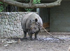 Rhino Playing with a Wooden Stick (praja38) Tags: life wild playing berlin nature animals germany zoo wooden europe european play wildlife indian humour cap rhino stick horn rhinoceros capricorn greateronehorned