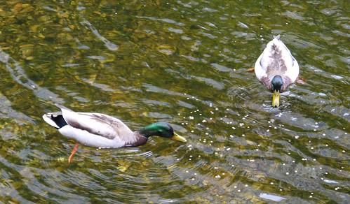 Ducks, East Village