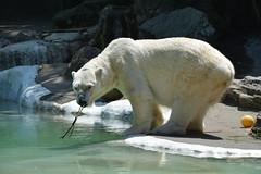Polar Bear Tundra (raewynp) Tags: bear usa newyork mammal polarbear bronxzoo tundra carnivore ursusmaritimus