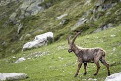 (Luca Carnesciali) Tags: italy mountain mountains alps nature natura alpi montagna aosta montebianco stambecco
