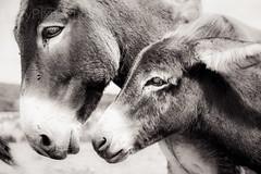 Donkey Island (Lazy Pixel) Tags: animal monochrome donkeys son blackandwhite mother