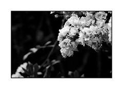 Roses grimpantes (Pierre_Bn) Tags: minolta mc 135mm f35 fuji xpro1 manual bw nb fleur roses