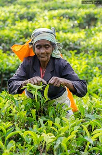 Picking Tea