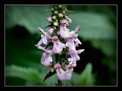 Zieste (Stachys) (karin_b1966) Tags: blume flower wildblume wildflower blte blossom pflanze plant garten garden natur nature 2016 ziestestachys yourbestoftoday
