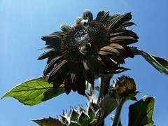 Black Sunflower (marco.tiano) Tags: black sunflower blossom flowers red sun summer sky blue green leaf 2016 garden planet samsungs3neo italy