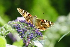 Schmetterling Buddeleja (U.Schweizer) Tags: d200 sigma 150macro