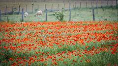 Red field (Jean-Luc Peluchon) Tags: red france flower nature field rural fence rouge lumix sheep dream bio panasonic poppy pastoral campaign campagne mouton champ bucolic coquelicot clture fz1000
