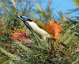 Blue-faced Honeyeater (Entomyzon cyanotis)_7435