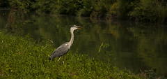 Hron (Joe Catrin) Tags: world wood travel wild summer france flower color tree green bird heron nature water grass animal contrast forest river way observation landscape photo nikon natural wind time earth ngc picture mysterious instant capture ete watercourse