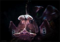 IMG_8842 (NonnaSP) Tags: animals bali diving fish indonesia macro nature ocean rinopiaseschmeyeri sea seraya tulamben underwaterphotography water
