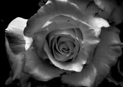 white rose [explored] (theGR0WLER) Tags: flowersinblackwhite macromondays white black rose flower blackandwhite blackwhite bright yorkshire macro zoom canon canonpowershotsx50hs garden petal