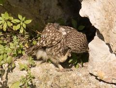 Little Owl (chitsngiggles) Tags: portlandbill nature birds wildlife owl owls