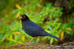 (RicardoPestana2012) Tags: male bird pssaro ave turdusmerula blackbird melro melropreto cabrerae turdusmerulacabrerae
