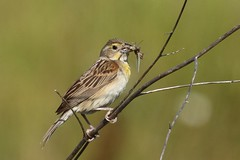 Female dickcissel carrying food (Rita Wiskowski) Tags: food nature female branch wasp oakcreek dickcissel wbba milwaukeecounty mitchellfield wisconsinbreedingbirdatlas