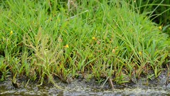 Utricularia bifida L. (Anurag N. Sharma) Tags: carnivorous insectivorous lentibulariaceae scrubforest utriculariabifidal drydeciduousforest floraofindia floraofkarnataka floraoftumkurdistrict bhaskarv