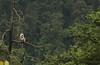 Nepal gray langur (siddarth.machado) Tags: semnopithecusschistaceus langur nepalgray endemic mammal wildlife india northsikkim eastern himalayas sikkim