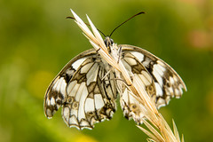 Marbled White (Gareth Christian) Tags: butterfly d750 kwt magpiebottom marbledwhite melanargiagalathea nikon