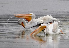 White Pelicans frolic and feed. (avilacats) Tags: dailyrayofhope droh
