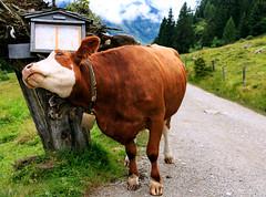 Pure Satisfaction (Wenninger Johannes) Tags: cow kuh satisfaction natur nature naturfoto naturephotography naturfotografie naturephoto foto fotografie linz austria sterreich canoneos70d