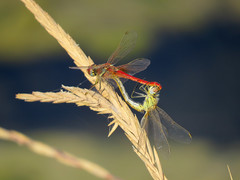 Red-veined darter (Sympetrum fonscolombii). (Vitaly Giragosov) Tags: redveineddarter sympetrumfonscolombii insect sevastopol sx50hs crimea canon