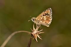 Pyrgus malvoides (Elwes & Edwards, 1897) (Jess Tizn Taracido) Tags: lepidoptera hesperioidea hesperiidae pyrginae pyrgusmalvoides