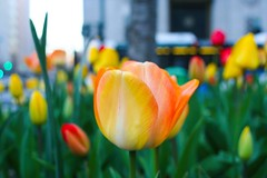 Tulips growing in Brooklyn (MeghanElizabethMurphy) Tags: tulips city nyc spring colors canon nature flower