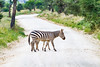Eight-Legged Zebra (Yooch) Tags: tanzania manyara tz zebra crossing road africa african safari national park wildlife canon canon7d 7d 100400 100400mm blackandwhite black white striped stripes calf