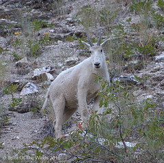 Same Goat (jimgspokane) Tags: mountaingoats goats wildlife mountains mountainroads idahostate excapture