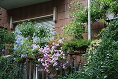 IMG_5351 (spartano2010 - the start of the summer will be lik) Tags: balcone fiorito agosto torino citt surfinie plumbago hibiscus