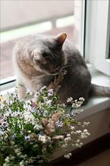 (lisrezoly) Tags: cat graycat flowers lotta