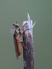 Robber fly (Mel Diotte) Tags: robber fly