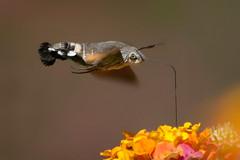 Dreamer (Luis-Gaspar) Tags: animal insect insecto moth traca mariposa hummingbirdhawkmoth mariposaesfingecolibri mariposabeijaflor macroglossumstellatarum lepidoptera sphingidae portugal oeiras nikon d60 55300 f56 11250 iso400
