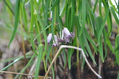 Polygonatum sp., Tianbao Shan June 2016 (Aidehua2013) Tags: polygonatum asparagaceae asparagales unidentified unidentifiedplant flower plant tianbaoshan yunnan china
