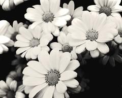 (wunderpar aka the_real_life) Tags: blume pflanze bltenblatt blatt blte flower flora schwarzweiss schwarz weiss blackwhite wunderpar samsunggalaxysmartphone6 handy