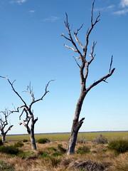2016-08-17  - Dry Menindee Lake - 1 (Ian Granland) Tags: menindeelake deadtrees westernnsw