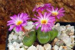 25 septembre 2016 - Conophytum lithopsoides SB631 (Mafate79) Tags: 2016 conophytumlithopsoides sb631 conophytum aizoaceae aizoaces aizoace mesemb mesembryanthemaceae mesembryanthemaces mesembryanthemace plante fleur sectionpellucida