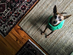Baxter In Triangles (dinsy2) Tags: dog cute triangles mat canine fromabove