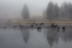 misty bison morning (Christian Collins) Tags: bison buffalo yellowstone yellowstoneriver bisonte rio mist misty canon efs24mmf28 rebelt2i park river morning maana