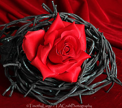 1027 of 1096 (Yr 3) - Barbed Rose (Hi, I'm Tim Large) Tags: red rose barbed wire flower bright fuji xe1 tabletop stilllife velvet love hurt twisted damaged protected concept