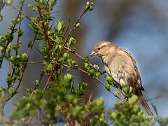House Sparrow (paulsilk photos) Tags: bird outdoor wildlife housesparrow female westbromwich westmidlands unitedkingdom
