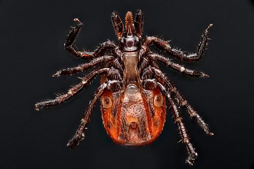 Ixodes scapularis (Deer Tick)