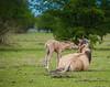Oostvaardersplas (inekehuizing) Tags: horses nature landscape spring natuur lelystad landschap paarden voorjaar koniks oostvaarderplassen inekehuizingfotografie