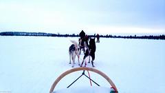 Husky sledding (gabriellakoritar) Tags: cute finland husky doggy