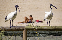 "Ibis (bidkev1 and son (see profile)) Tags: street camera uk portrait england people urban art monochrome photoshop canon lens photography eos photographer britain candid australian streetphotography photojournalism lifestyle places brisbane photographic portraiture leisure digitalphotography blackandwhitephotography professionalphotography stockphotography alternativelifestyle candidphotography photographicequipment artphotography documentaryphotography stilllifephotography eventphotography hdrphotography australiatravel fineartimages canonequipment photographicprints ""streetphotography"" imagesofaustralia photographictools imagesofqueensland ""canonphotography"" photographywithcanonequipment olympusomdbeachsandseasurfsunibisphotography ""candidphotography"" ""documentaryphotography"" ""buystreetphotography"" ""urbanphotography"" ""cityphotography"" ""beachphotography"" ""peoplephotography"" ""kevindickinsonfineartphotography"""