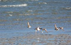 Dunlin (Calidris alpina) (mebeagan) Tags: ocean bird beach nature birds animals outdoors flying wings wildlife calidris alpina flock birding flight avian shorebirds dunlins