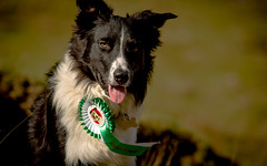 16/52 Paddy & his Badge (JJFET) Tags: dogs for collie paddy border badge 16 weeks 52