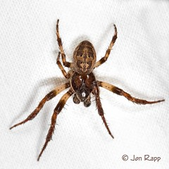 Spider - Orbweaver, Furrow Larinioides cornutus 1c (MO FunGuy) Tags: spider missouri larinioidescornutus furroworbweaver